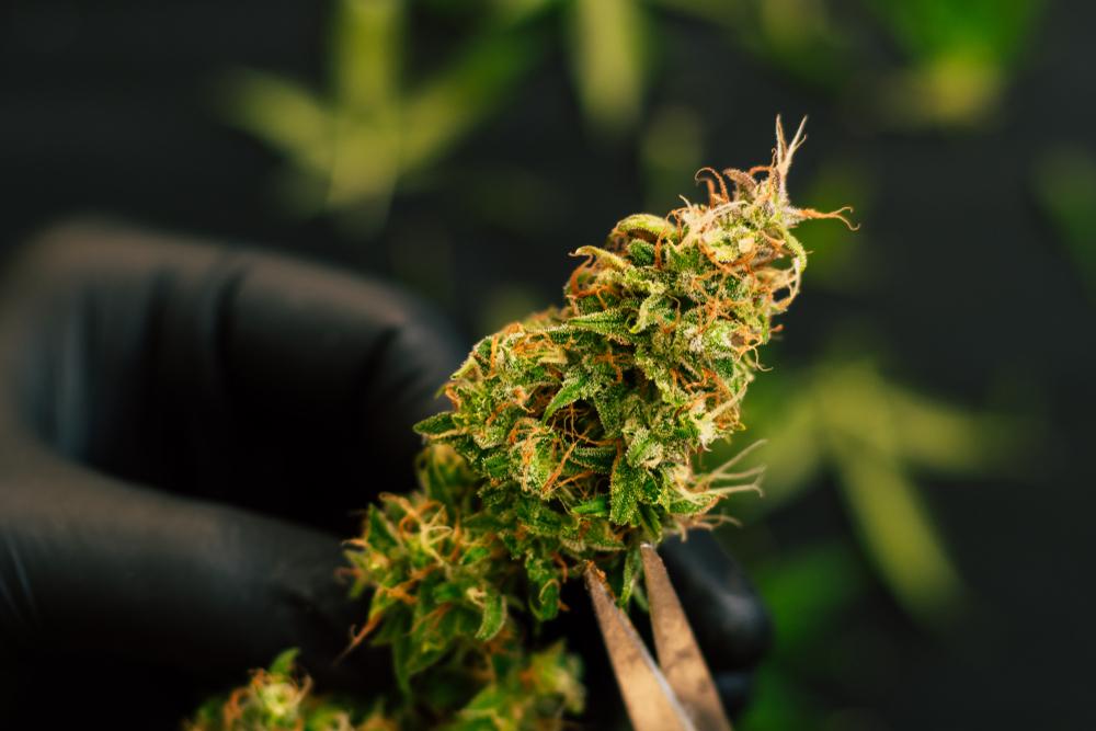 cannabis flower for sleep