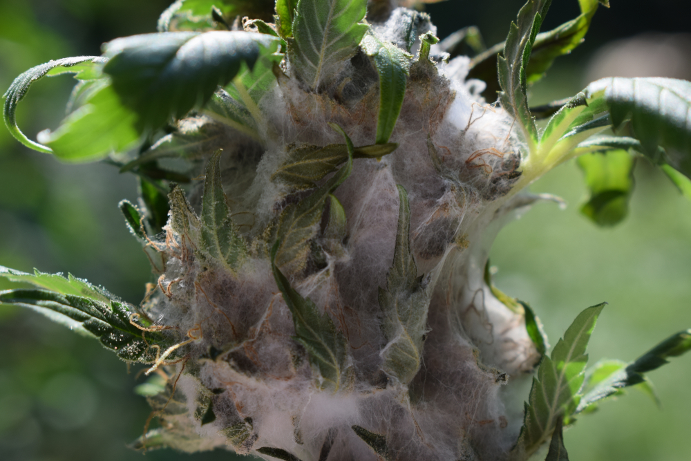 Moldy Weed – Dangers & Prevention Methods