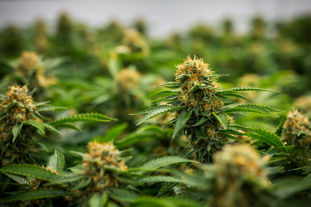 sinsemilla cannabis