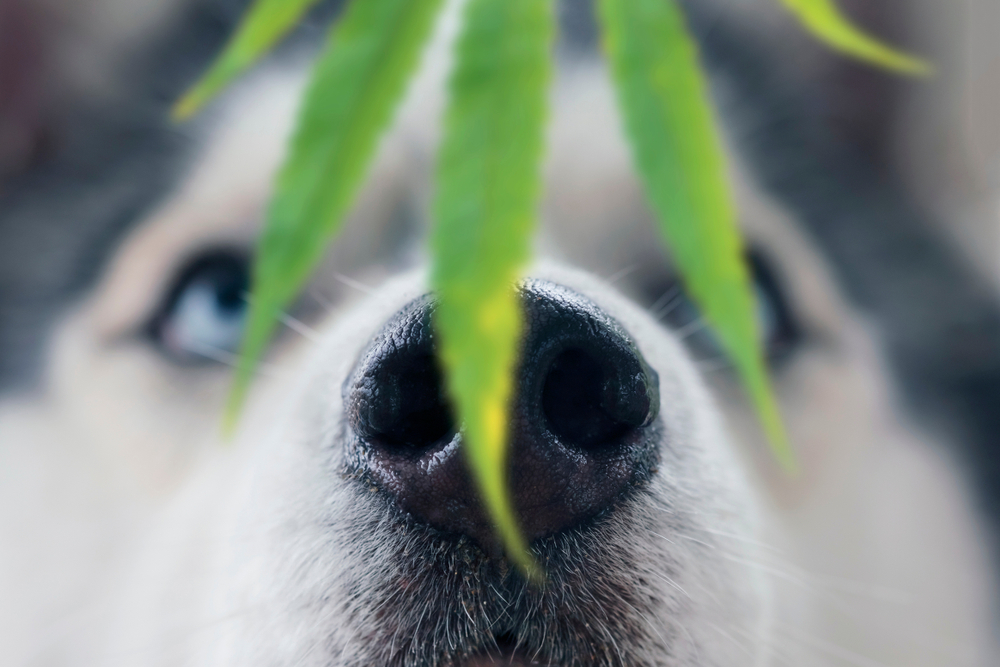 dogs eat edibles getting stoned